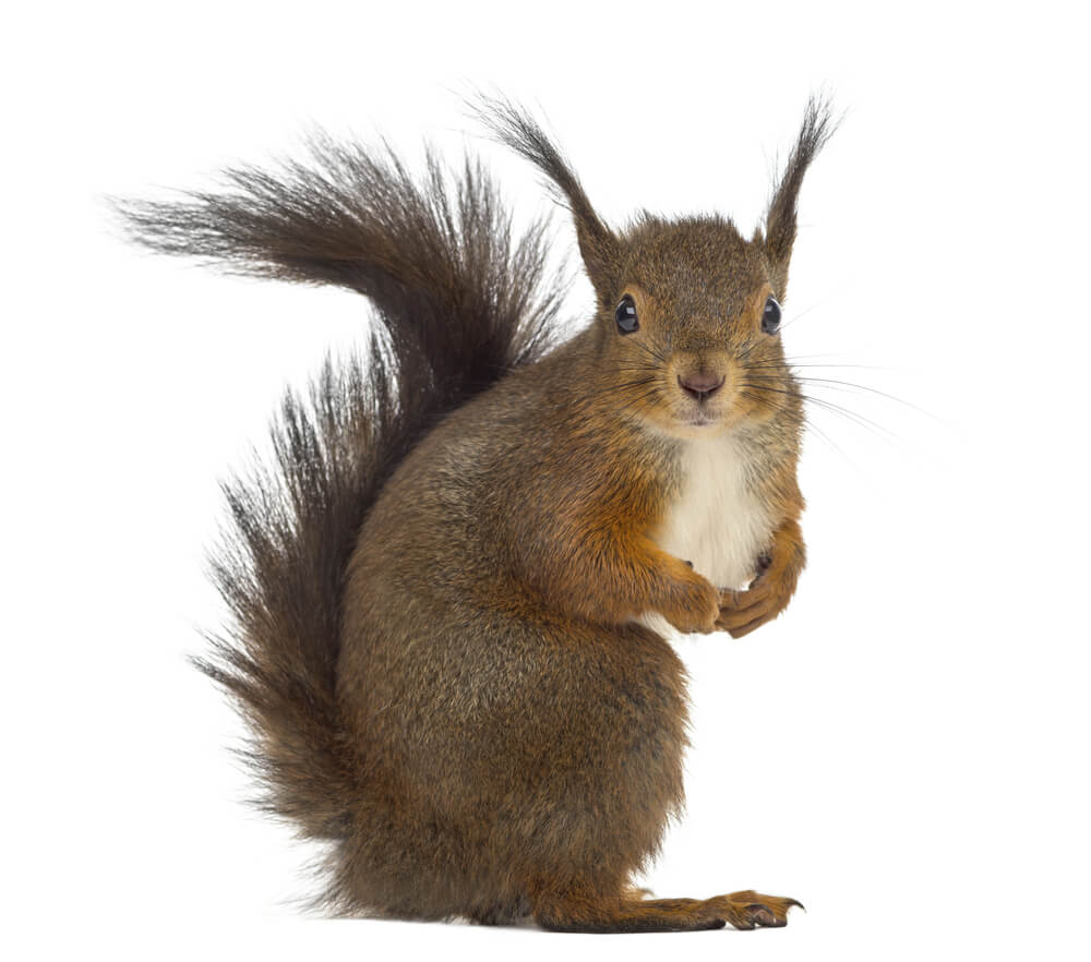 How To Get Rid Of Squirrels In The Attic Baystate Wildlife