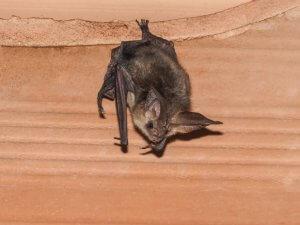A bat in the attic