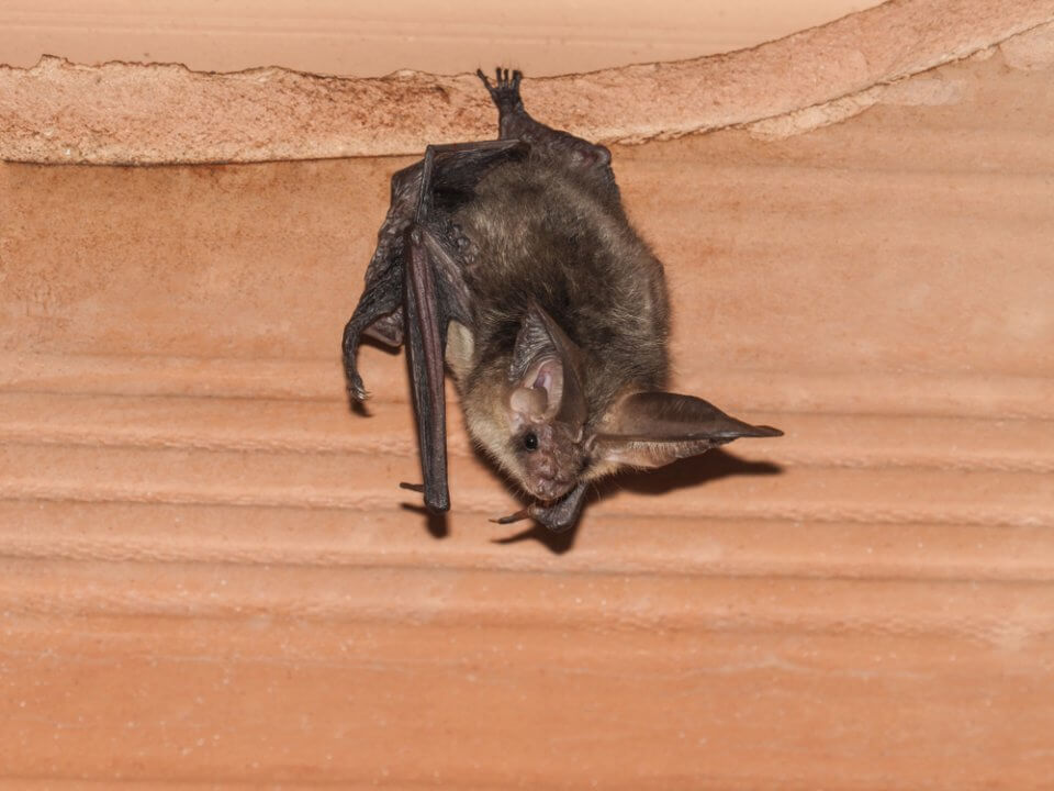 A bat in the attic