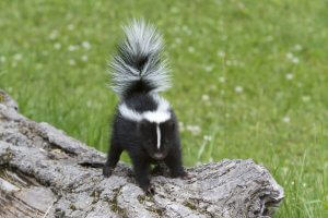 Baby skunk getting ready to spray