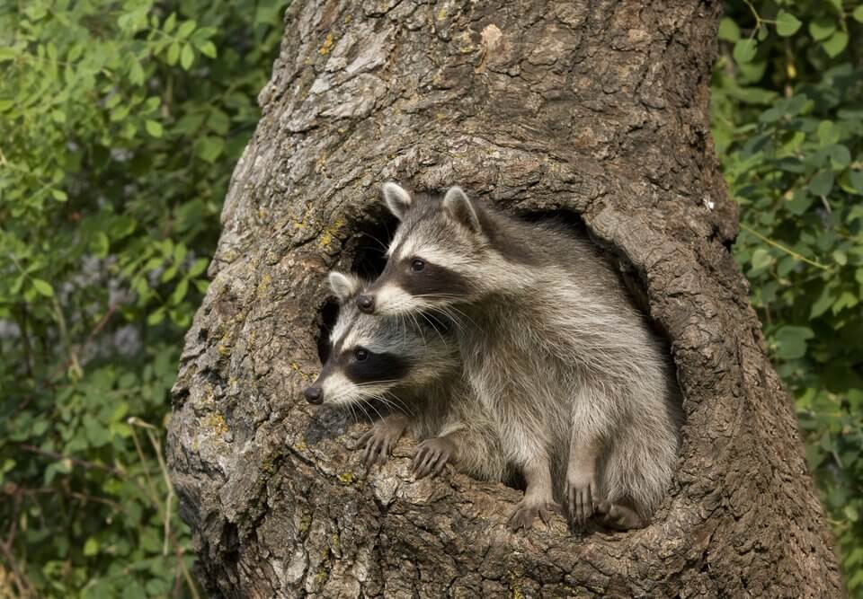 Two raccoons looking out over their tree home