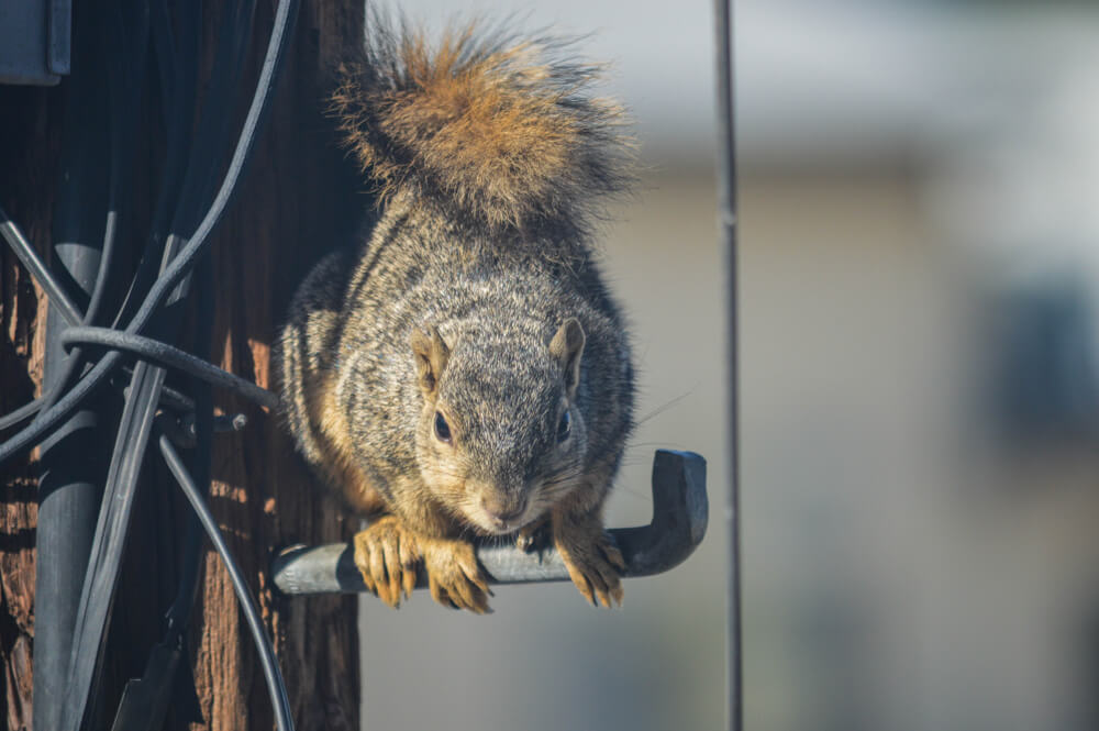 A squirrel coming into the garage