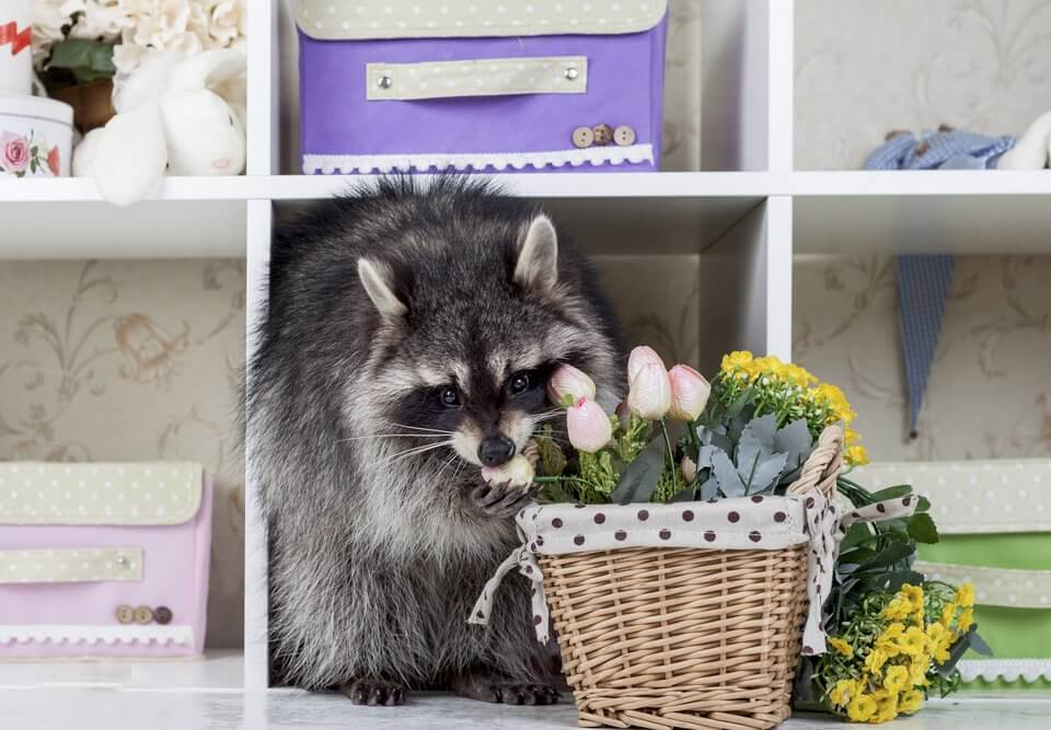 A little raccoon in a closet with a basket of flowers