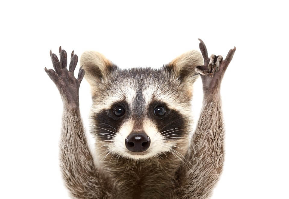 Raccoon problem in a home