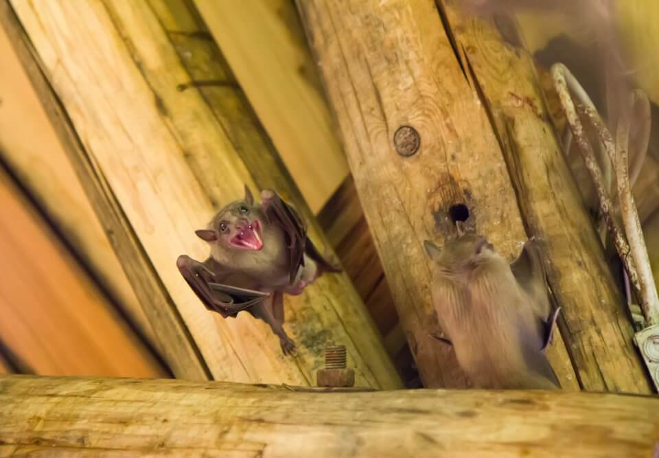 wild bats on the ceiling
