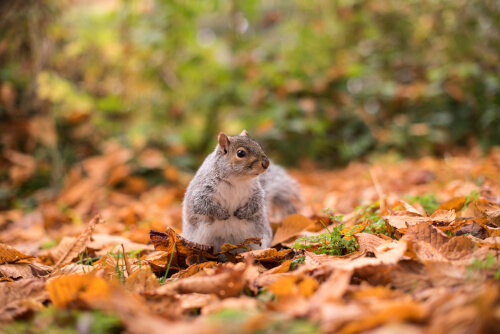 squirrel and fall leaves