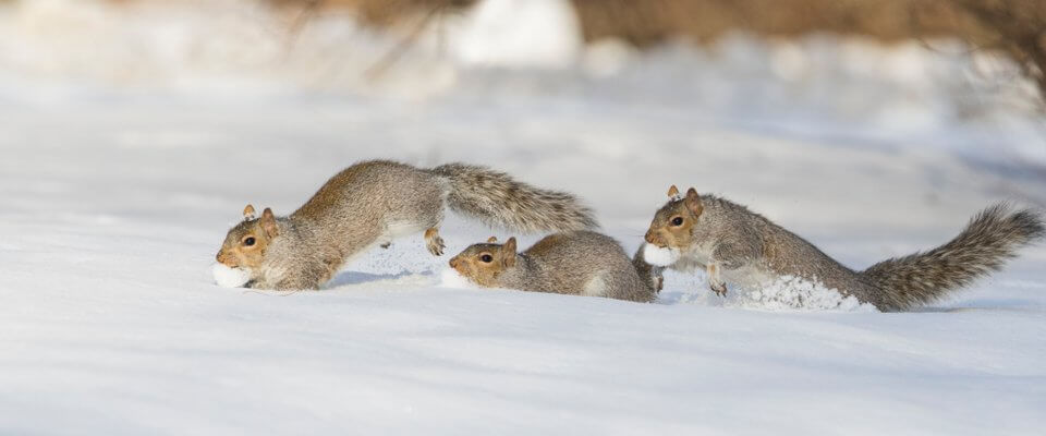 squirrels running in the snow