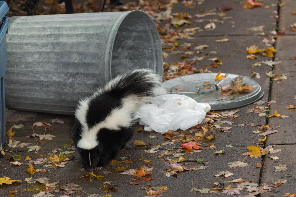 skunk eating from trash can